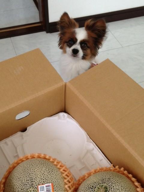 愛犬パピヨンとメロン