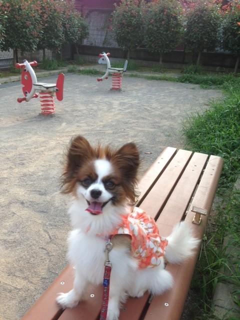 公園のベンチに座るパピヨン