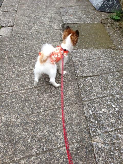 坂を上る愛犬パピヨン