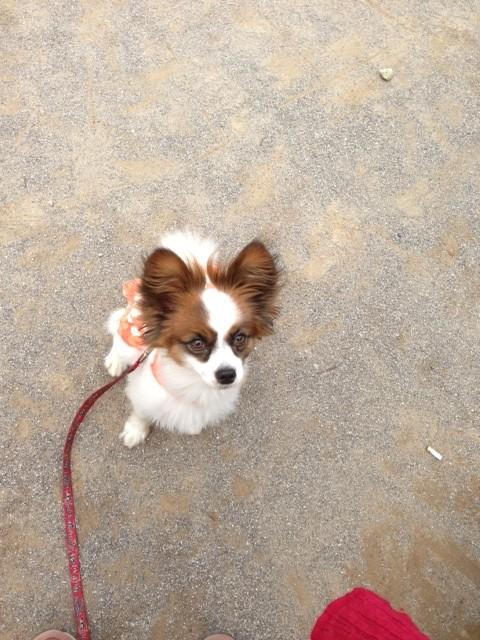見つめる愛犬パピヨン