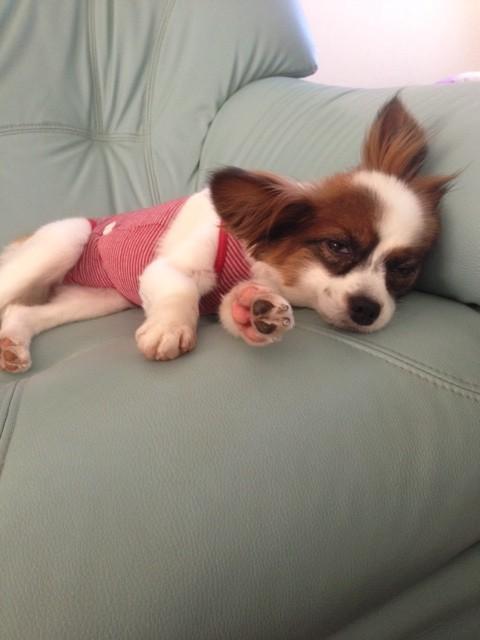ソファーに寝そべるパピヨン