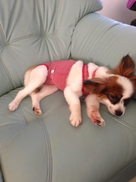 ソファーで寝そべるパピヨン