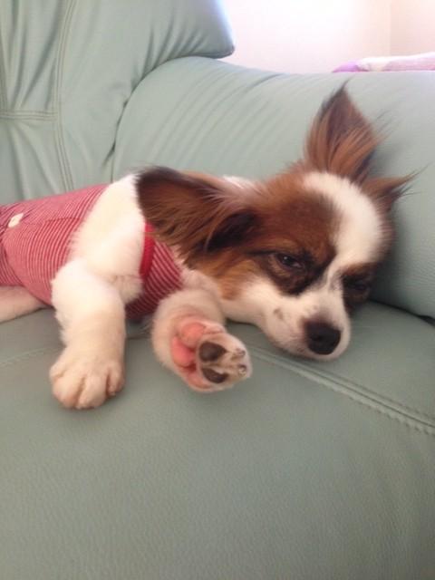 寝起き顔のパピヨン