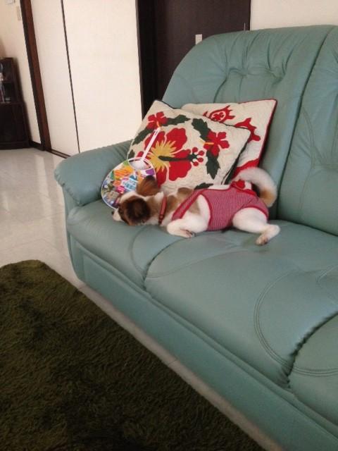 ソファーで寝るパピヨン