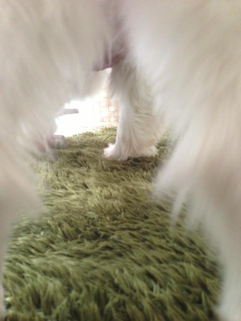 パピヨンの足間からのアングル