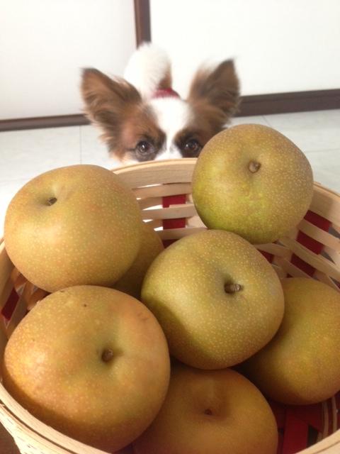 梨から顔をだすパピヨン