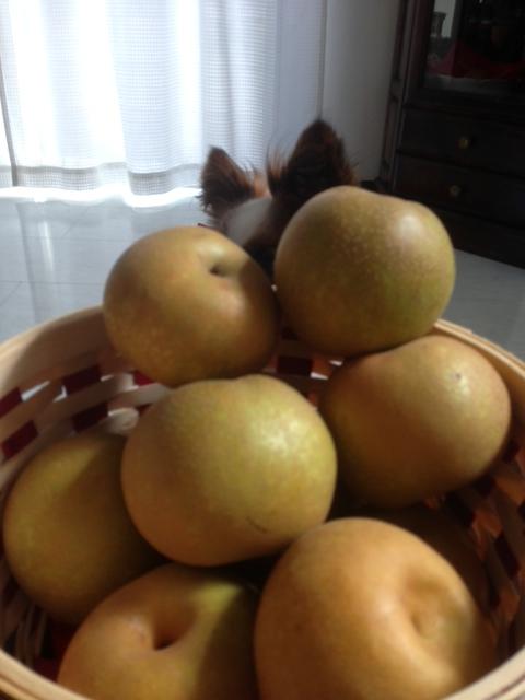 梨からパピヨンの耳がチョコンと見える