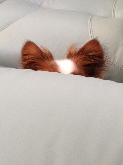 ソファーから見えるパピヨンの耳