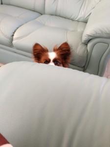 ソファーから少しずつ顔を出すパピヨン