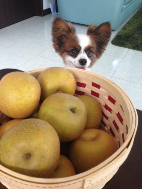 梨の合間から顔を出すパピヨン