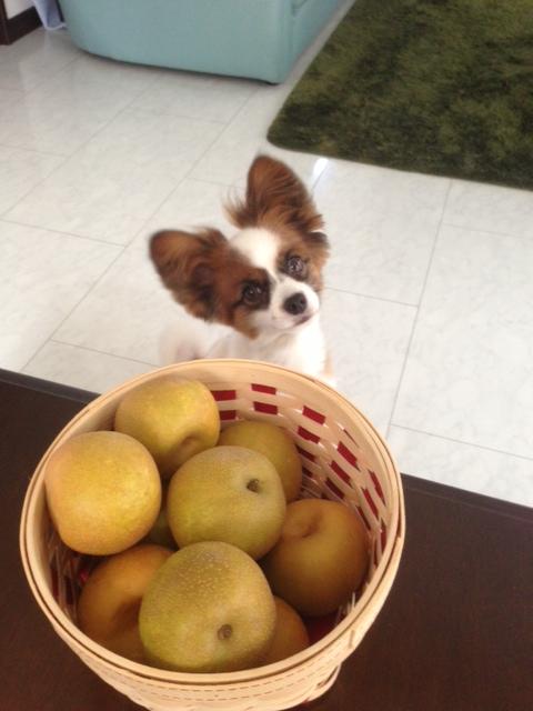 梨の前で頭をかしげるパピヨン