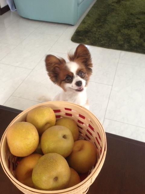 梨の前で笑顔で座るパピヨン