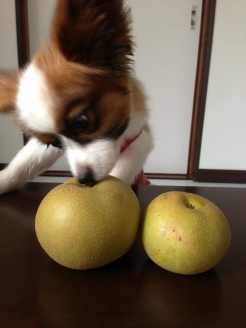 梨を真剣にかぎ分けるパピヨン