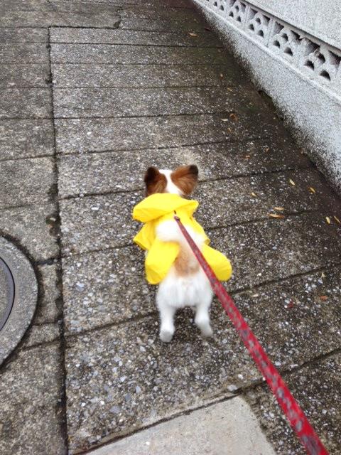 レインコート姿で走り回るパピヨン