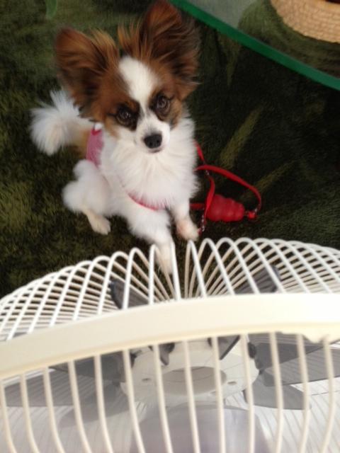 扇風機の前に立つパピヨン