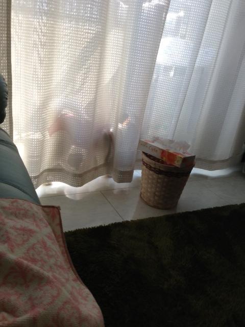 カーテンの中を通り過ぎるパピヨン