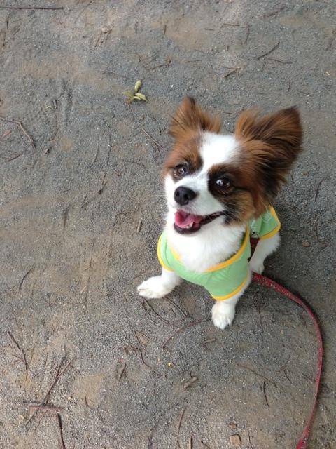 笑顔で見上げるパピヨン