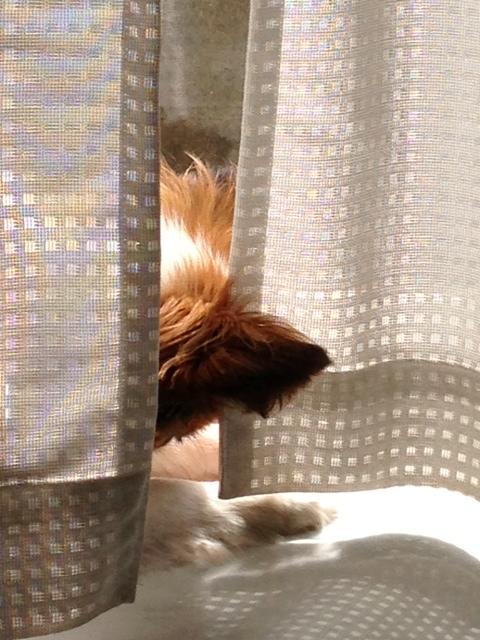 カーテンから見えるパピヨンの頭