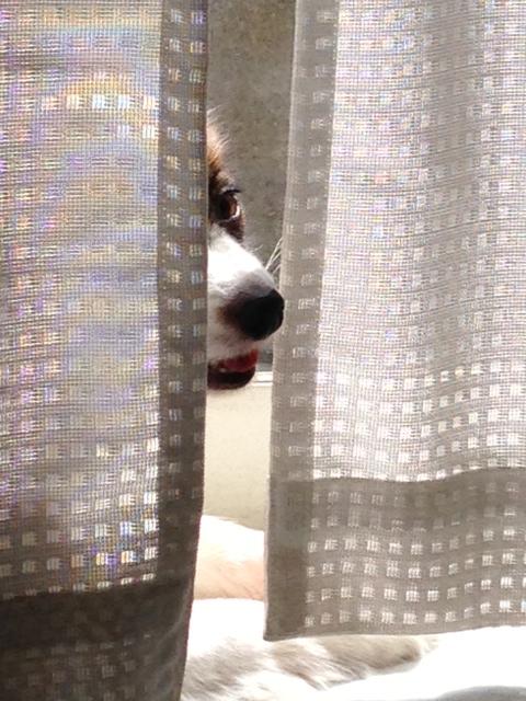 カーテンから覗くパピヨン