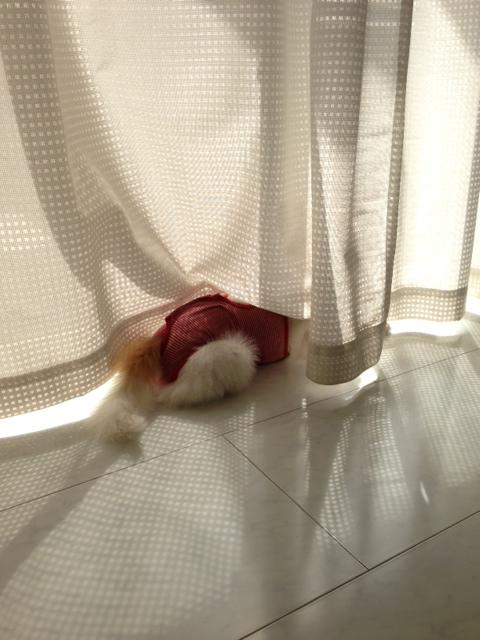 カーテンに隠れるパピヨン