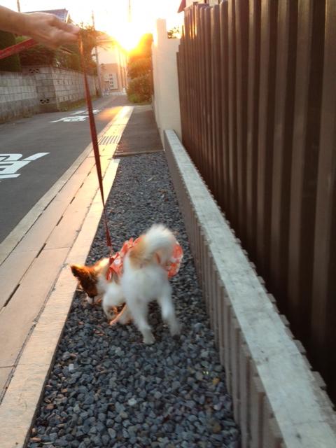 砂利道を歩くパピヨン