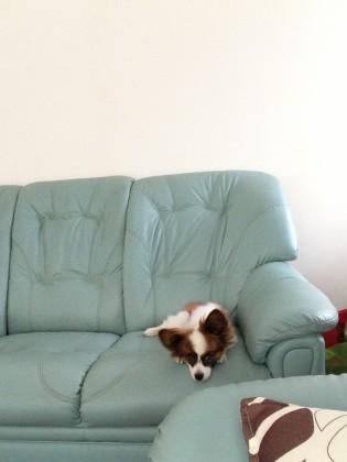 ソファーで寝てるパピヨン