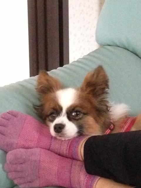 足枕で寝るパピヨン