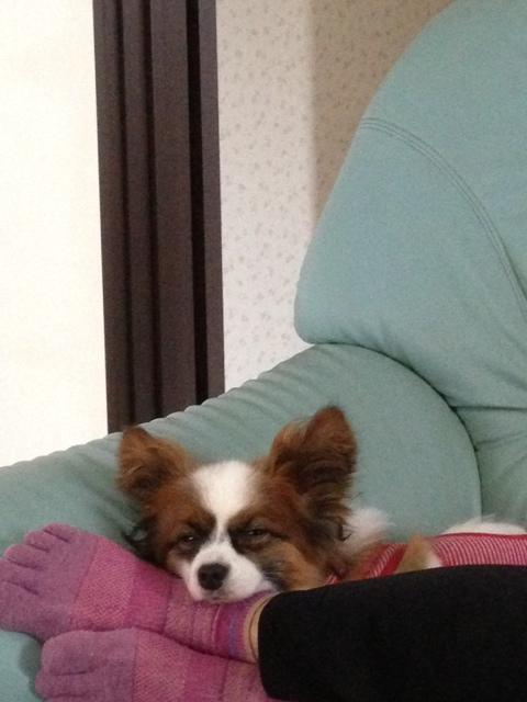 足枕でお目目つぶって寝るパピヨン