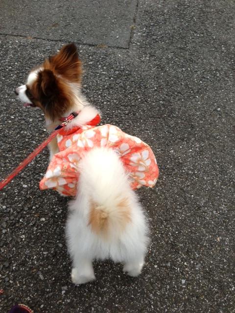 お散歩してるパピヨン