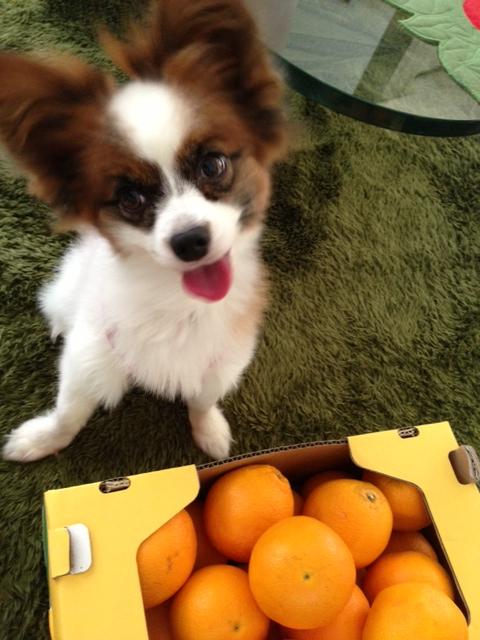 オレンジとパピヨン