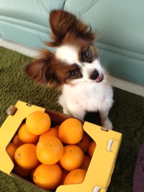 オレンジ前に首を180度傾げるパピヨン