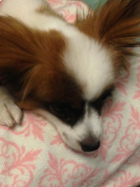 寝てるパピヨン
