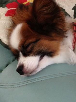 寝ながら笑ってるパピヨン