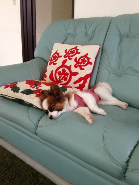 ソファーでぐっすり寝るパピヨン