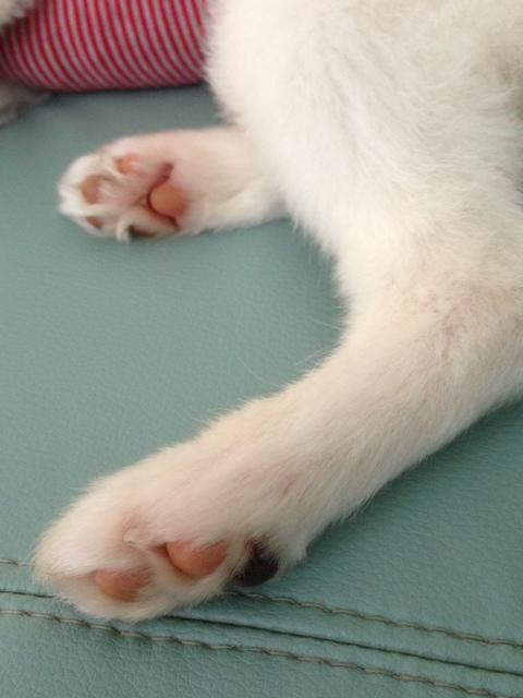 愛犬パピヨンの足の肉球