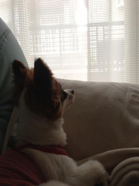 遠くを見つめるパピヨン