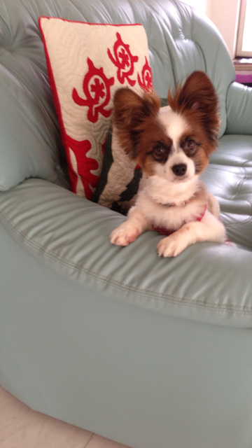 ソファーの肘掛に手をかけ待っているパピヨン