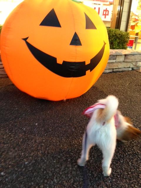 かぼちゃのおもちゃに近づくパピヨン