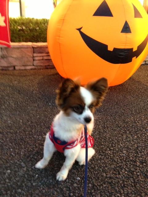 かぼちゃのおもちゃ前で笑うパピヨン