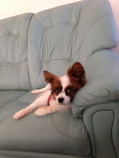 ソファーに寝てるパピヨン