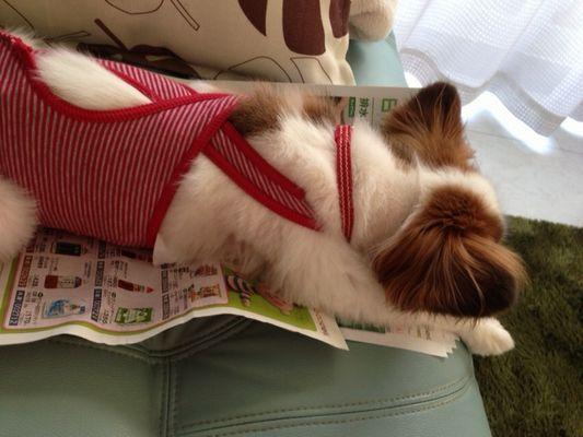 カタログの上に寝るパピヨン