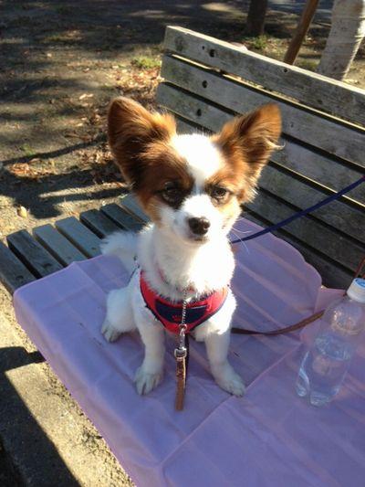 公園のベンチに座るパピヨンボク