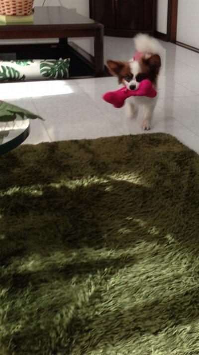 おもちゃを持って走るパピヨンボク