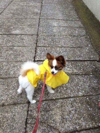 黄色いレインコート姿のパピヨンボク