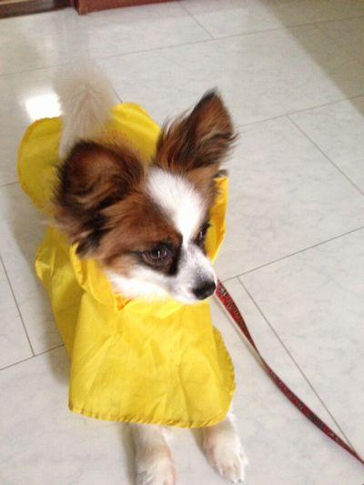 パピヨンボクの黄色いレインコート姿
