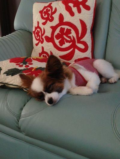 丸まって寝てるパピヨンボク