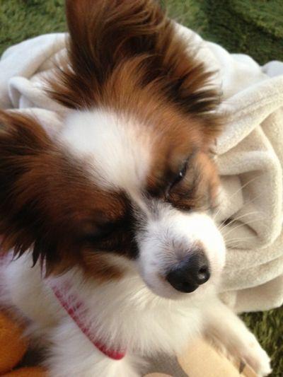 寝ぼけてるパピヨンボク