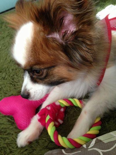 おもちゃに噛み付くパピヨンボク