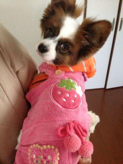 苺の洋服のパピヨン